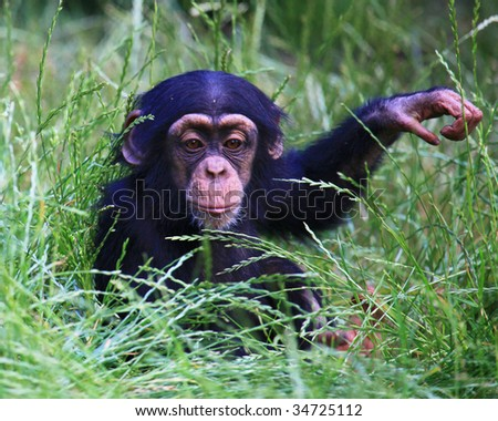 baby chimp - stock photo
