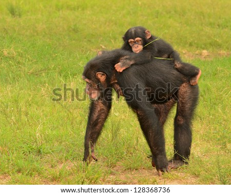 Baby chimpanzee (Pan Troglodytes) holding on to her mother's back. - stock photo