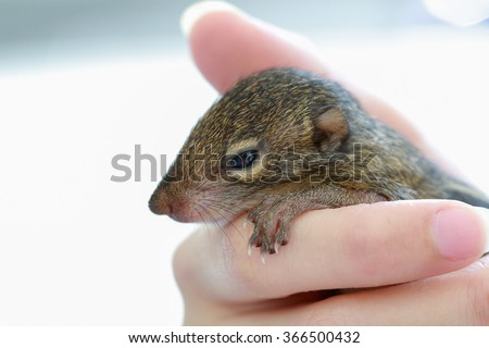 baby chipmunk sleep in hand