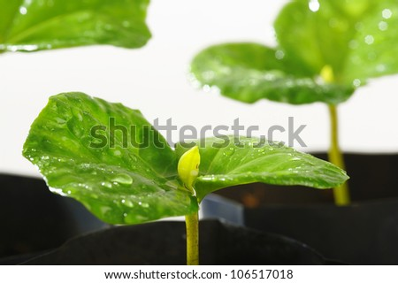 baby coffee tree in nursery house with water drop