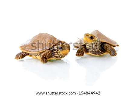Baby Common Map Turtles