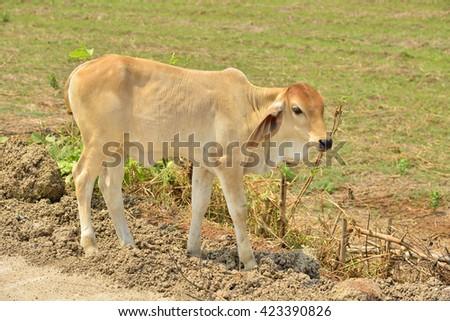 Baby cow graze the green pastures. - stock photo