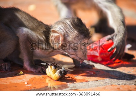 Baby Crab Eating Macaque