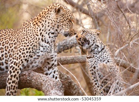 Baby cub Leopard (Panthera pardus) playing with his mother on the tree in nature reserve in South Africa - stock photo