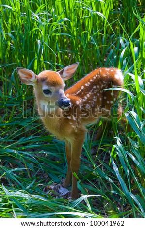 Baby Deer - stock photo