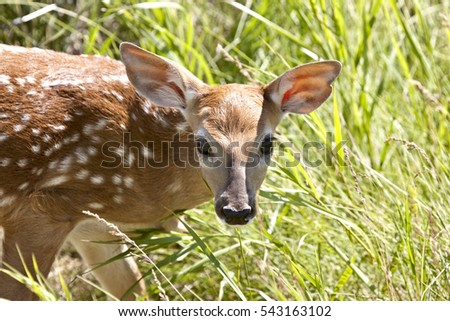 Baby Deer Doe spotted big eyes close up