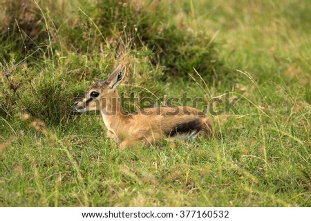 Baby dik dik Kenya Masai Mara Africa - stock photo