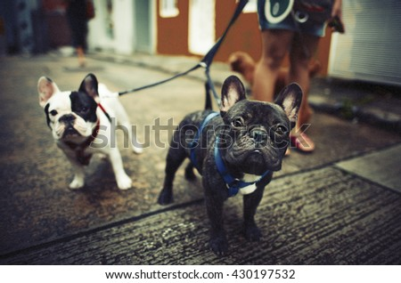 Baby Doggy French Bulldog Cute Concept - stock photo