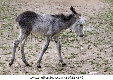 baby donkey - stock photo