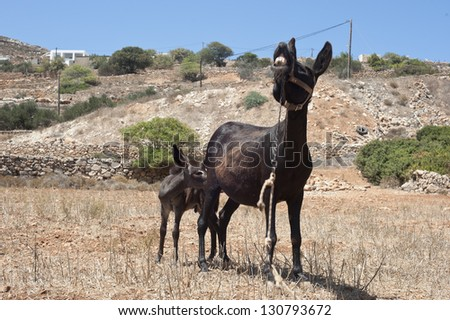 Baby donkey and his mother. Baby donkey and his mother in field at Kasos Island, Greece
