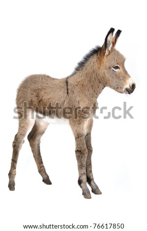 Baby donkey (5 days old) in studio in front of white background