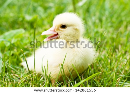 baby duck in green grass calling his mother - stock photo