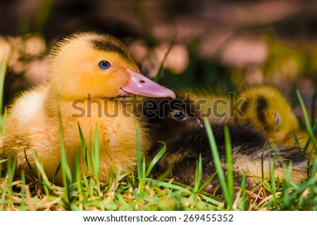 Baby Duck in the nest resting. - stock photo