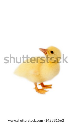 baby duck isolated on white background  - stock photo