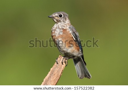 Baby Eastern Bluebird (Sialia sialis) molting with a green background - stock photo