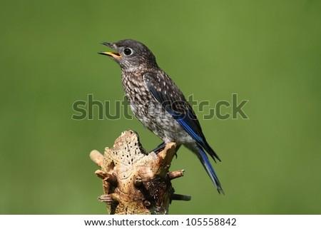 Baby Eastern Bluebird (Sialia sialis) on a perch in a field - stock photo