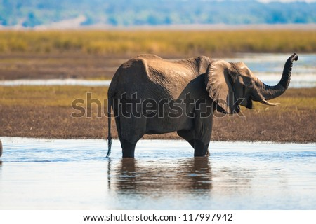 Baby elephant (Loxodonta africana), Chobe National Park - stock photo
