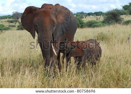 Baby Elephant Nursing - stock photo