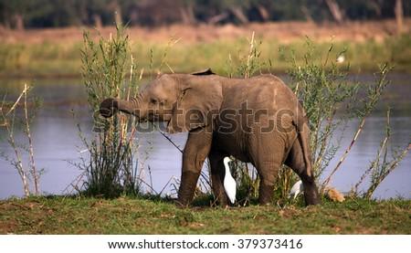 Baby elephant standing in the grass near the river. Zambia. Lower Zambezi National Park. Zambezi River. An excellent illustration. - stock photo