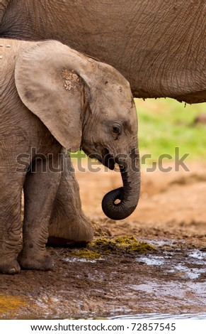 Baby elephant standing next to it's mother at the water hole - stock photo
