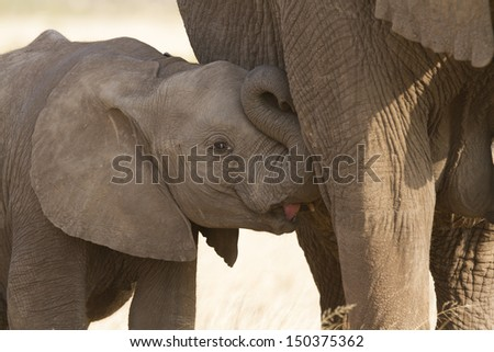 Baby elephant suckling from mom - stock photo
