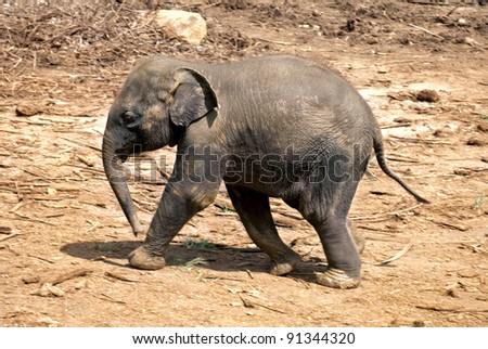 Baby elephant walking over rocky plains - stock photo