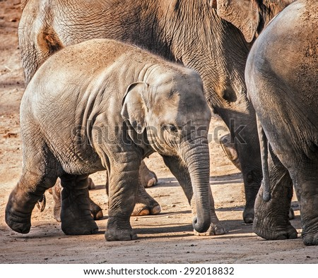 Baby elephant walking with his family