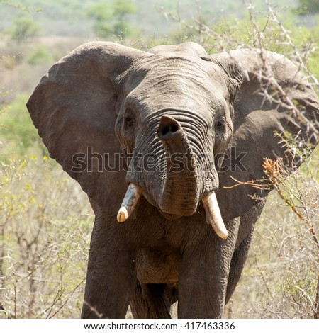 Baby elephant, watching jeeps passing by full of excitement in Kruger park. - stock photo