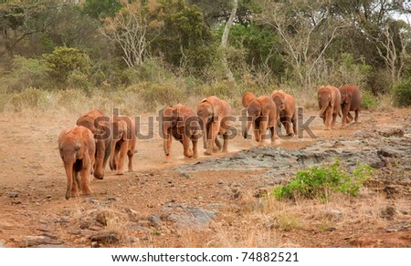 Baby elephants at the David Sheldrick Elephant Orphanage arriving for their mid-morning milk - stock photo