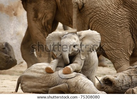 Baby Elephants Playing - stock photo