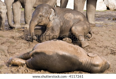 Baby elephants playing in the mud - stock photo