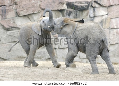 Baby elephants playing with each other. Zoo in Eastern Berlin, Germany