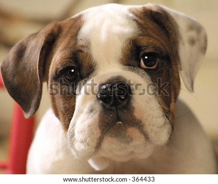 Baby face with deep brown eyes of a bull dog puppy - stock photo