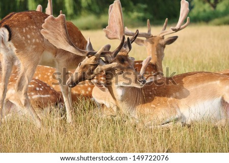 Baby fawn deer playing with adult stag in clearing at Richmond park London England