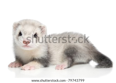 Baby ferret lying on a white background - stock photo