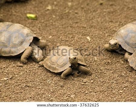 Baby Galapagos Island Tortoises - stock photo
