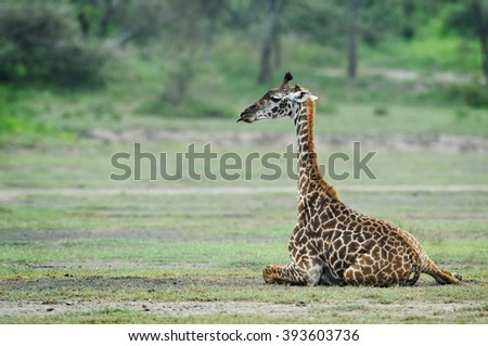 baby giraffe in natural habitat - stock photo