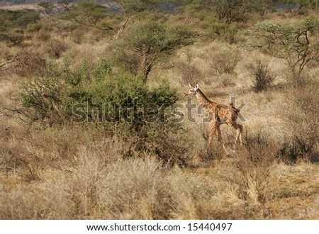 Baby Giraffe in the Buffalo Springs National park. - stock photo