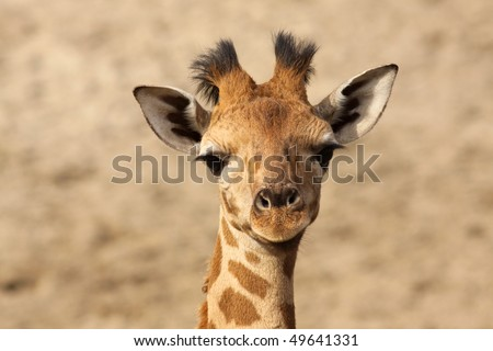 Baby giraffe looking at you - stock photo