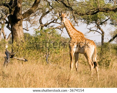 Baby giraffe looking for mother - stock photo