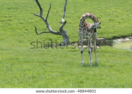 baby giraffe on green summer meadow - stock photo