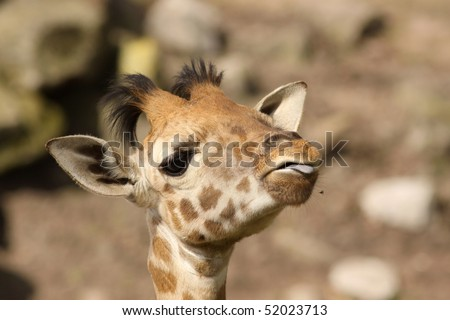 Baby giraffe sticking out its tongue