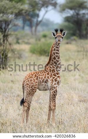 Baby Giraffe  Tarangire Kenya - stock photo