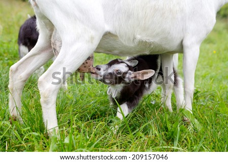 baby goat eating from her mother