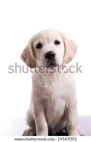 Baby Golden Retriever Portrait - Isolated over white background - stock photo