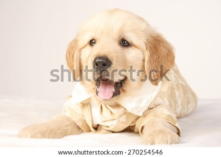 baby golden / smiling face / pink tongue / health dog / healthy puppy  - stock photo