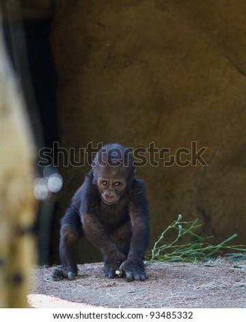 Baby Gorilla in captivity at a zoo - stock photo