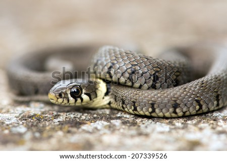Baby Grass Snake coiled on grey mossy flagstone/Baby Grass Snake/Grass Snake (natrix natrix) - stock photo