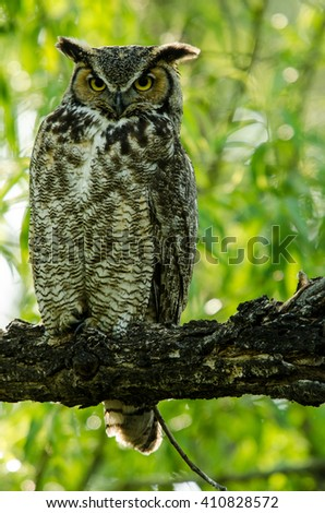 Baby Great Horned Owl Father - stock photo