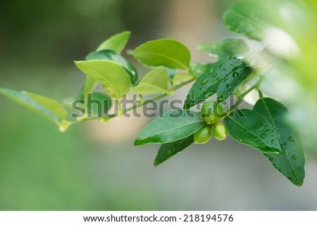Baby green lemons in farm - stock photo